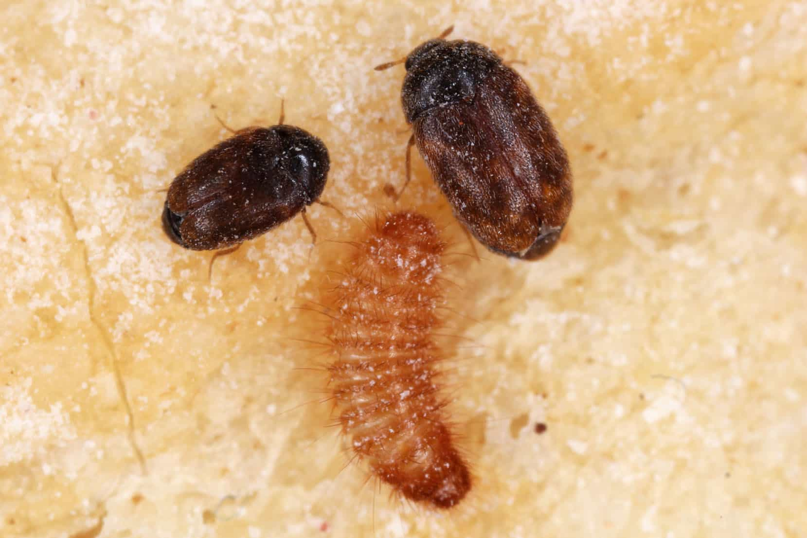 stages of Khapra beetle