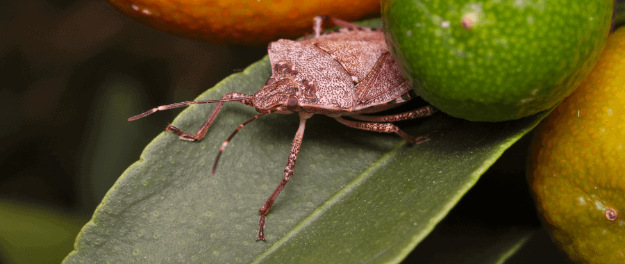 stink-bug season 2019 2020